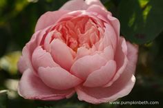 Rosa 'The Alnwick Rose'. Find out more about roses at the RHS London Rose Show on Friday 3rd June 2016 and Saturday 4th June 2016. See below for all the details.