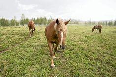Suomenhevosen lähimpiä sukulaisia ovat ainakin vanhat itäiset rodut, jakutianhevonen (Siperiasta) ja mongolianhevonen, sekä Viron eestinhevonen ja Vienanmeren rannoilla Arkangelin alueella asuva mezenhevonen. Mongolia, Horses, Animals, Colors, Animales, Animaux, Animal, Colour, Animais