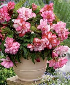 """Pink Balcony Begonia  Plant Height: 10-12""""  Spacing: 8-10""""  Hardy In: 9-10, suitable to 3  Blooms:  Mid-Summer to Fall"""