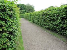 Hornbeam: A Hedge for All Seasons: Gardenista- Another great privacy hedge, and the deer seem to leave this alone. Since the deer population on Long Island is getting out of control lately.