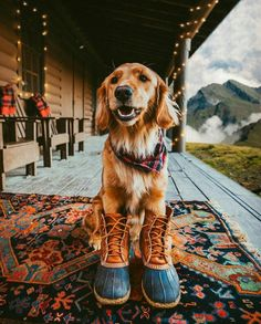 Golden retriever puppy dog wearing a plaid scarf and boots. Love My Dog, Cute Puppies, Cute Dogs, Dogs And Puppies, Doggies, Corgi Puppies, Animals And Pets, Baby Animals, Cute Animals
