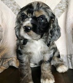"Check out our website for additional info on ""spaniel dogs"". It is a superb spot for more information. King Charles Cocker Spaniel, Perro Cocker Spaniel, Clumber Spaniel, American Cocker Spaniel, English Cocker Spaniel, Spaniels, Springer Spaniel, Huge Dogs, I Love Dogs"