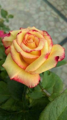 »✿❤️ Rose For You!❤✿«