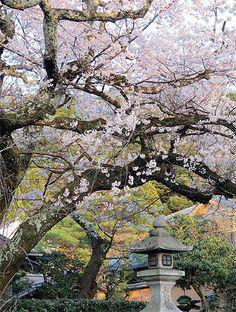40401_113m Japon - Voyage de printemps 2014 - Kyôto - Le chemin des philosophes