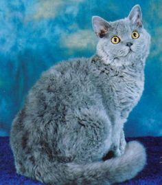 Pamacs Selkirk Rex Galerie de photos - Selkirk Rex - Ideas of Selkirk Rex - Pamacs Selkirk Rex Galerie de photos The post Pamacs Selkirk Rex Galerie de photos appeared first on Cat Gig. Selkirk Rex Kittens, Kitten For Sale, Animals And Pets, Funny Cats, Photo Galleries, Gallery, Ideas, Animaux, Pets