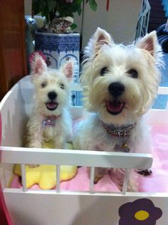 yumi and miko the westies <3