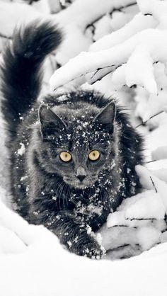 cat_fluffy_branches_snow_hunting_16962_640x1136 | Flickr - Photo de vadaka1986