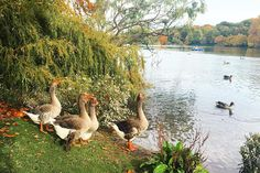 """ #automne #france #fall #weekend #tetedor #parc #park #ilovelyon #onlylyon #lyon #duck #animal #tetedorparc #travel"""