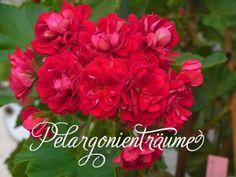 Pelargonienträume - Lagerlands Rosen - kräftig rot-dunkelpinkfarbene Rosenblüten. Stark wachsende Sorte