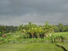 Rice Field, Paddy, Field, Agriculture