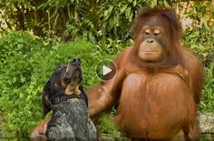 Funny Dog & Cat Video | unlikely hodgepodge of cross-species fun friendships  --   This very funny and heartwarming viral video, Be Together–Not the Same, features a hodgepodge of animals of different species, romping around together and having friendly fun.