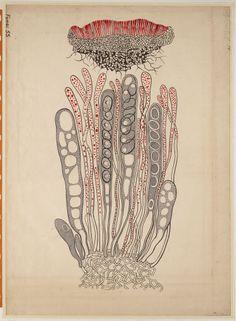Peziza convexula - Het Geheugen van Nederland Scientific Drawing, Art Base, Botanical Illustration, Natural History, New Art, Comic Art, Weird, Graphic Design, Abstract