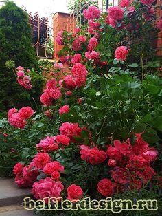 Картинки по запросу плетущаяся роза вдоль забора