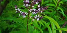 Lemon verbena - Aloysia triphylla   Therapeutic actions include; antiseptic, digestive and sedative.