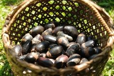 """The Pili Nut of Bicol, Philippines: """"In a nutshell, it's perfect! Pili Nut, Fruit Nutrition, Filipino Recipes, Filipino Food, Bones And Muscles, Exotic Fruit, In A Nutshell, Philippines, Healthy Lifestyle"""