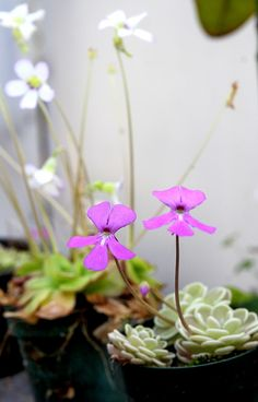 Pinguicula blooms (butterworts)