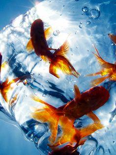 Goldfish・・・Cool by Tomomi Kafuka