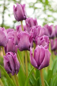 Tulip 'Blue Parrot' (Parrot Group)