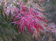 Acer palmatum 'Beni-shidare' (Japanischer Ahorn, Fächerahorn)