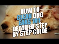 Oct 2018 - Ear mites in dogs can cause uncomfortable, itchy ears and pain. If left untreated they can cause more severe issues too. Dog Ear Mites, Dogs Ears Infection, Cleaning Dogs Ears, Ear Cleaning, Dog Grooming Tools, Dog Grooming Business, Havanese Dogs, Shih Tzu Dog, Dog Ear Cleaner Homemade