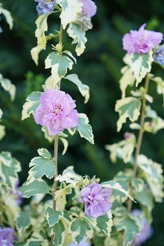Sugar Tip® Gold - Rose of Sharon - Hibiscus syriacus - Gold variegated foliage, with purple double flowers summer thru fall on an upright shrub high. Purple Plants, Rose Of Sharon, Proven Winners Flowers, Plants, Blue And Purple Flowers, Hibiscus Flowers, Salvia Plants, Hibiscus, Fall Plants