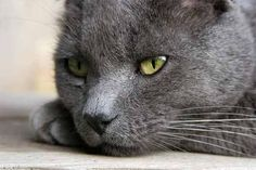Russian Blue. Another rescue kitty, Tucker, is identical to the Russian Blue; his mood, as this photo suggests, always wary.