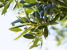 Olive Plant, Extra Virgin Oil, Italian Olives, Edible Oil, Olive Fruit, Olive Oil, Harvest, Herbs, Plants