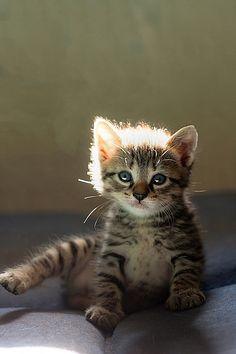 My little tiger… Baby tabby kitten