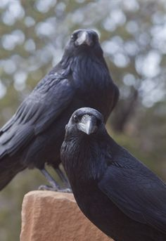 Common raven / Cuervo grande (Corvus corax)