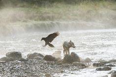 Il lupo che nuota nelle acque dell'oceano Pacifico e si ciba di frutti di mare