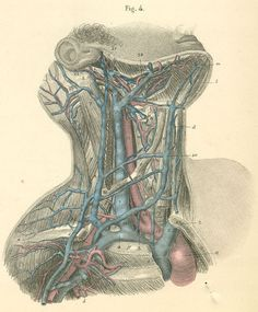 arteries in the neck | Arteries and veins of the right side of the neck.