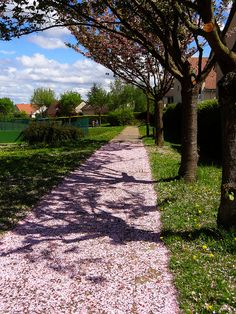 Cherry blossoms carpet