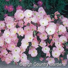 Oenothera speciosus Rosea - A heat loving plant that thrives in sunny, dry areas along baking south and west facing walls and pavement areas. Spreading rapidly on shallow roots when the hot summer weather arrives, give this beauty plenty of room to grow a Garden Plants, House Plants, Water Plants, Potted Plants, Small Garden Landscape Design, High Country Gardens, Drought Tolerant Garden, Unique Plants, Evening Primrose