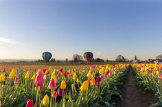 Where to go in the West this spring to find flower festivals where you can see the season in full bloom, from tulips to lilacs. Most Beautiful Flowers, Beautiful World, Beautiful Places, Pretty Flowers, Amazing Places, Growing Tulips, Ranunculus Flowers, Stock Flower, Flower Festival