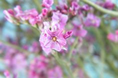 Dried sea lavender flowers (limonium) close-up of this pink variety http://driedflowercraft.co.uk