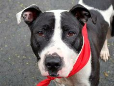 TO BE DESTROYED 6/13/14 Manhattan Center -P  My name is BRUNA. My Animal ID # is A1002237. I am a female black and white pit bull mix. The shelter thinks I am about 6 YEARS old.  I came in the shelter as a STRAY on 06/05/2014 from NY 10035, owner surrender reason stated was STRAY. I came in with Group/Litter #K14-180122.