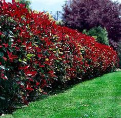 A photinia hedge to close in the front yard...yes or no...I keep changing my mind on this one!!
