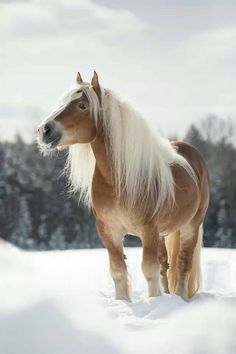 "draftmare: "" scarlettjane22: "" Bilbo from Beth D on Pinterest "" This horse has better hair than me. """