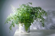 There are many benefits of having house plants but it can be hard to know which varieties are suitable. Here are the 10 best indoor plants to have in your house. Australia House, Australia Winter, Cairns Australia, Australia Map, Western Australia, Landscaping Tools, Ceramic Plant Pots, Elegant Centerpieces, Best Indoor Plants