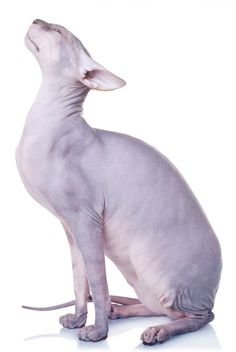 Donskoy - Don Sphynx Cat Pretty Cats, Beautiful Cats, Cute Cats, Funny Cats, Adorable Kittens, Devon Rex, Chat Sphynx, Cat Anatomy, Cat Ages