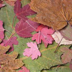 Dried leaves. Magnolia Leaves, Magnolia Flower, Dry Leaf Art, Leaf Crafts, Kid Crafts, Natural, Using Acrylic Paint, Real Plants, Painted Leaves