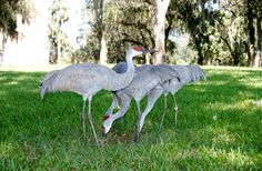 Sand Hill Cranes, this picture was taken at Bok Garden's in Fla. By Iva Dawn Tepper