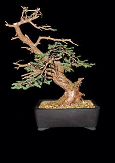 Picea Abies Bonsai
