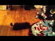 Adorable dog video -- Poodle puppy plays with the Christmas tree Puppy Play, Fix You, Old Toys, Cute Dogs, Christmas Tree, Puppies, Poodles, Holiday Decor, Plays