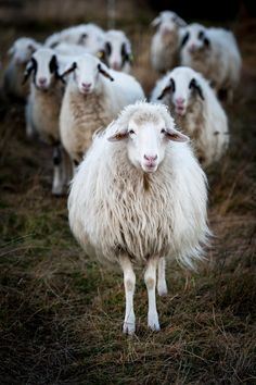 ~~The posse ~ a flock of sheep by Irene Petzwinkler~~ Farm Animals, Animals And Pets, Cute Animals, Beautiful Creatures, Animals Beautiful, Jurrassic Park, Wooly Bully, Sheep Art, Sheep Wool