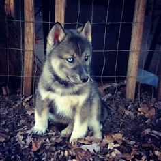 I LOVE ALL HUSKIES..ESPECIALLY MY TWO, AND MY DADS..BUT I THINK THIS ONE HAS TO BE THE MOST UNIQUE COLORING I'VE EVER SEEN! ABSOLUTELY STUNNING!