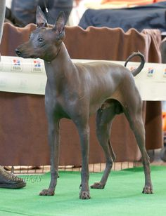 Peruvian Hairless Do Peruvian Hairless Dog Rare Animals, Animals And Pets, Cute Puppies, Cute Dogs, Mexican Hairless Dog, Dog Best Friend, Jack Russell Terrier, Shelter Dogs, Dog Walking