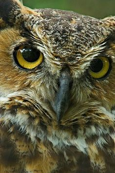 Great horned owl, look at those eyes.