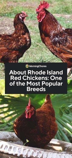 14 Best Rhode Island Red images in 2012 | Rhode island red
