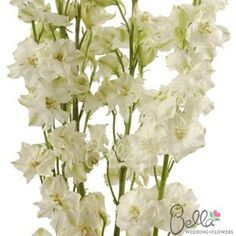 48 best white wedding flowers images on pinterest white wedding our white larkspur flowers are a great filler to accent floral arrangements larkspur has fluttery mightylinksfo